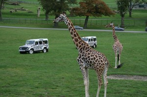 A soggy giraffe is no fun. Giraffes prefer sun and choc ices.